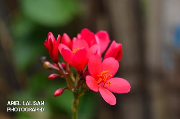 flower fuchsia
