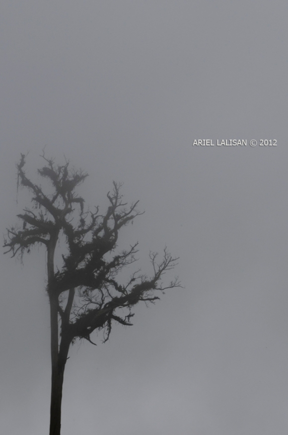 mist covers a dead tree