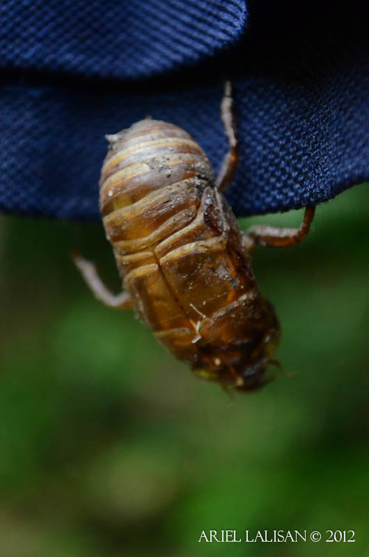 exoskeleton of a molting cicada